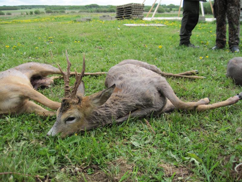 bukkejagt-16-5-2011-013