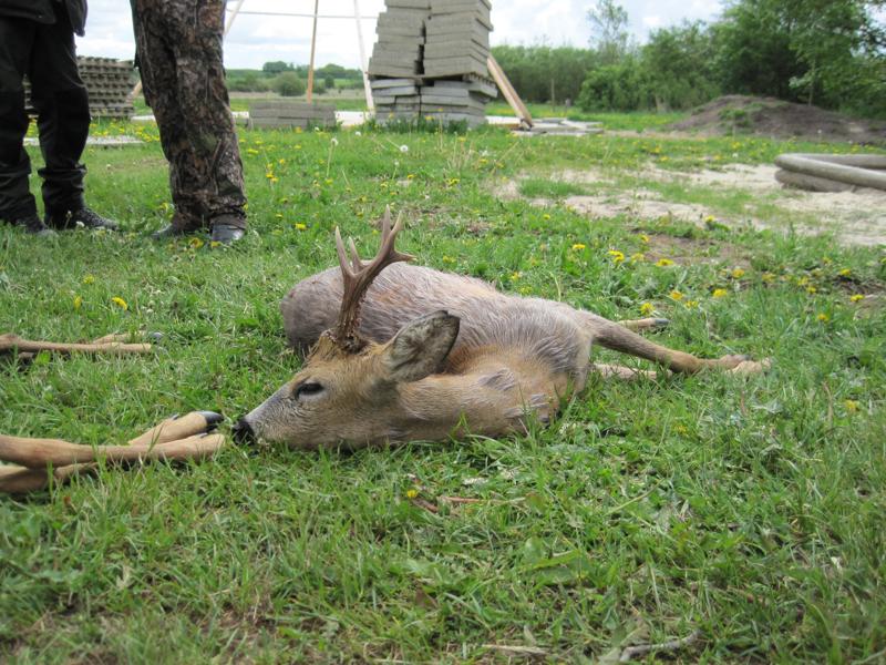 bukkejagt-16-5-2011-015
